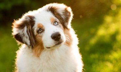 cão sensitivo