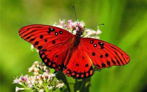 borboleta mais linda