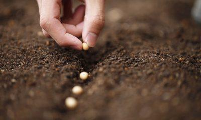 A colheita do bem em sua vida, por Chico Xavier